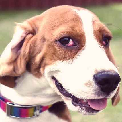 What Causes Cherry Eye in Dogs and Cats?