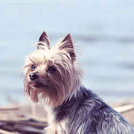 Yorkshire Terrier Information: Health