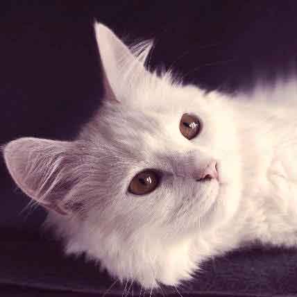 All-White Cat Breeds