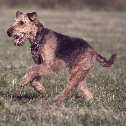A Guide to the Airedale Terrier, The King of Terriers