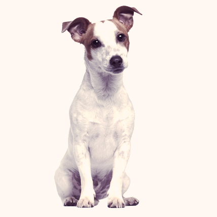 Jack Russell Terriers photo