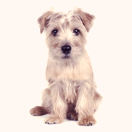 Norfolk Terriers photo
