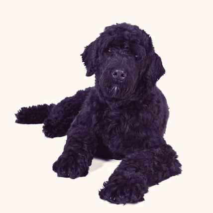 Portuguese Water Dogs photo