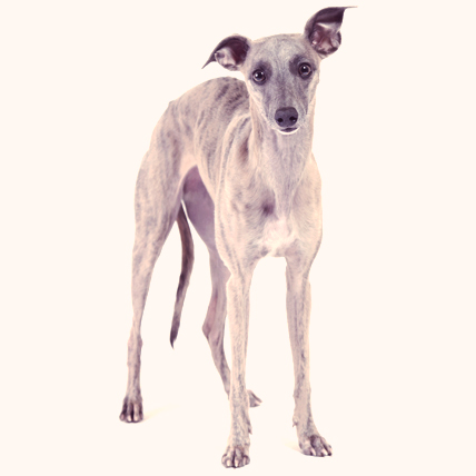 Whippet dogs photo