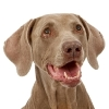 Dental Disease Affects Dogs and Cats
