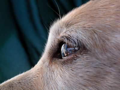 A close up of a dog's eye