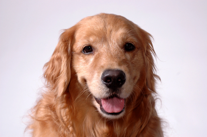 GoldenRetriever-URIHealthArticle-Treament