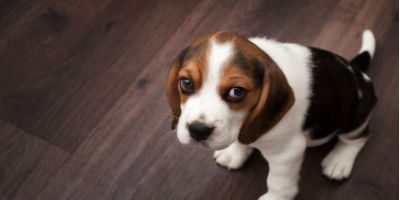 SadBeaglePuppy-TapewormHealthArticle-Treatment