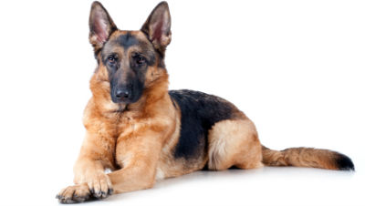 german-shepherd-show-dog