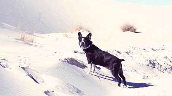 About Boston Terrier Dogs