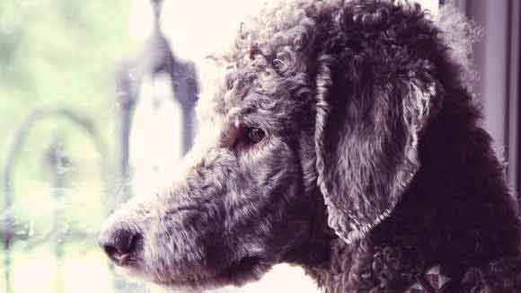 Anxious Poodle Behavior