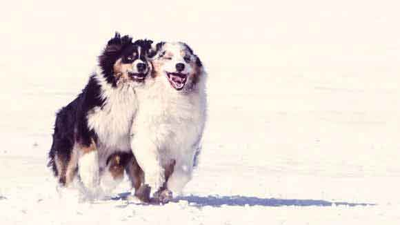 Australian Shepherd Informaion: Breed and Health
