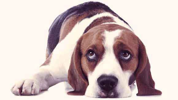 Beagle Information: Health and Nutrition