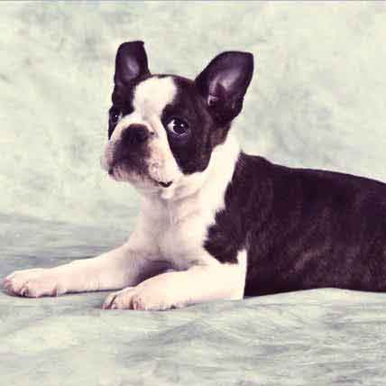 Boston Terrier Breed Health Information