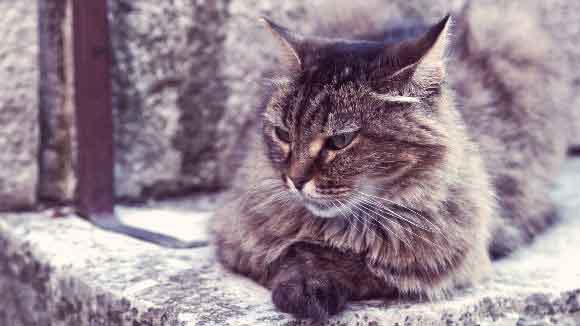 The Average Lifespan Of A Cat Breed By Breed Chart Petcarerx