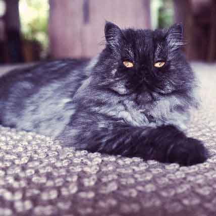 Cats Who Don't Need 9 Lives: Longest Living Cat Breeds