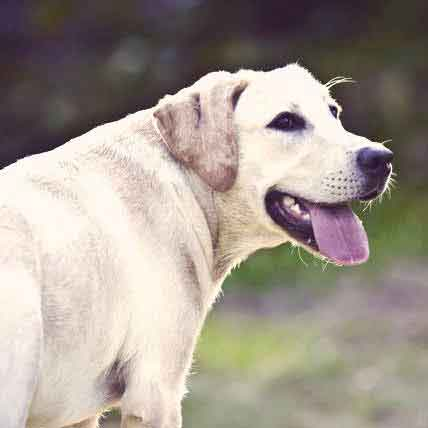 Causes of Glaucoma in Dogs and Cats