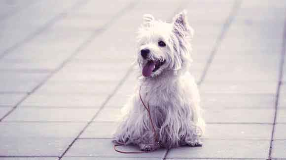 Characteristics of the West Highland White Terrier (Westie)