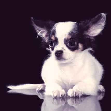 The Chihuahua: Tiny Dog, Big Personality