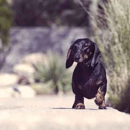 Dachshund Information: Health