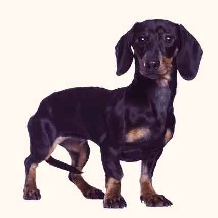 What should a miniature dachshund weigh