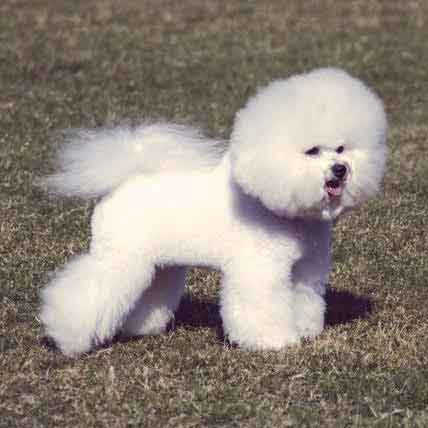 Read Article Dietary Needs of the Bichon Frise