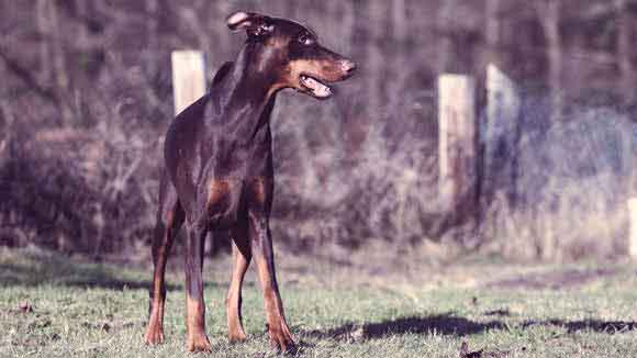 Doberman Pinscher Health Information