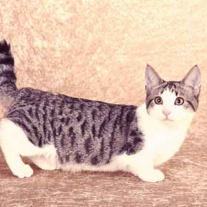 Dwarf Cats: How This Trait for Smallness Comes About