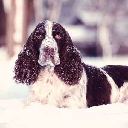 English Springer Spaniel Diet Tips