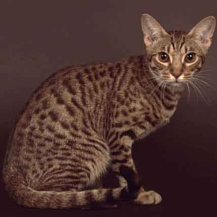 Exotic Cat Breeds to Choose From