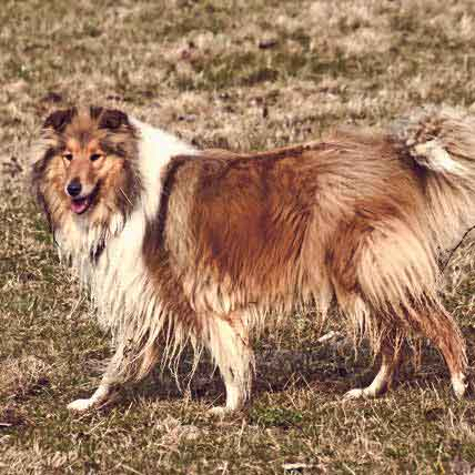 Facts on Collie Dogs