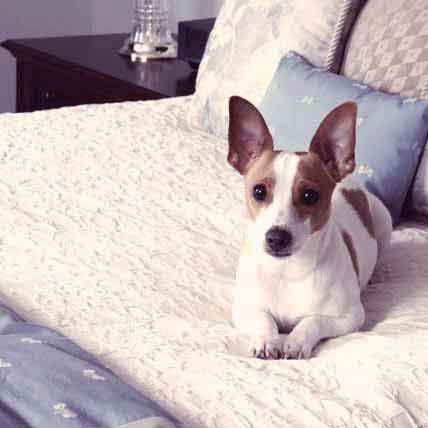 How to Fatten Up a Rat Terrier Dog
