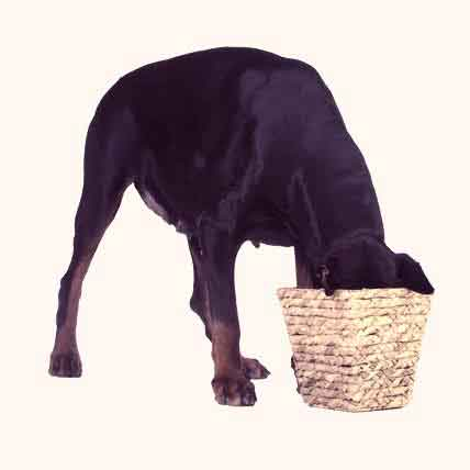 How to Feed a Doberman Pinscher