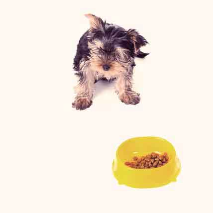 Foods My Yorkie Can Eat