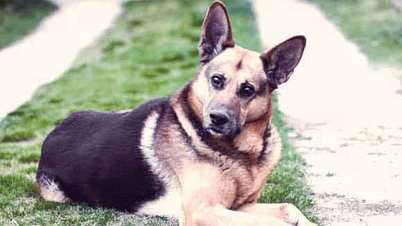 German Shepherd Information: Health