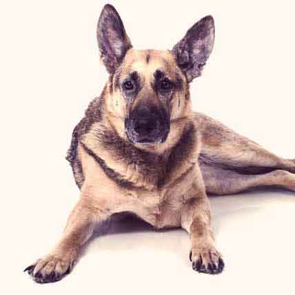 Could Your German Shepherd Be a Show Dog?