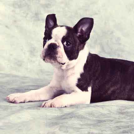 Gluten and Corn Sensitivity in Boston Terrier Dogs