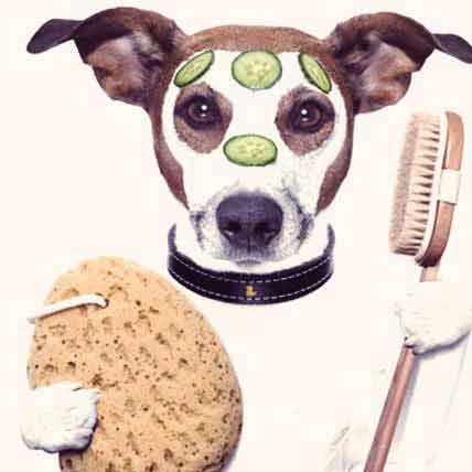 Read Article How to Groom a Rough Coated Jack Russel Terrier
