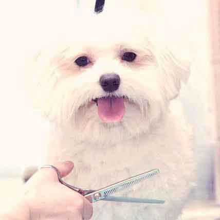Grooming and Cuts for a Maltese