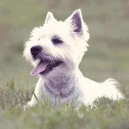 Haircut Styles for a West Highland White Terrier