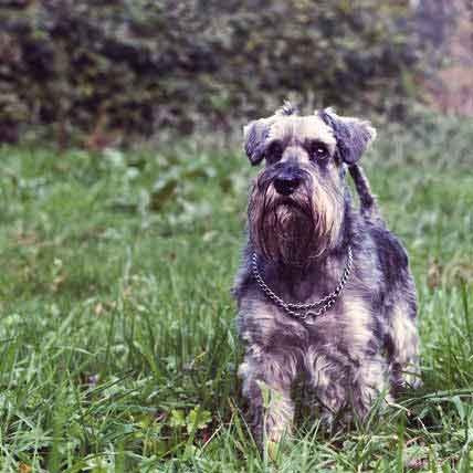 Healthy Diet of Miniature Schnauzers