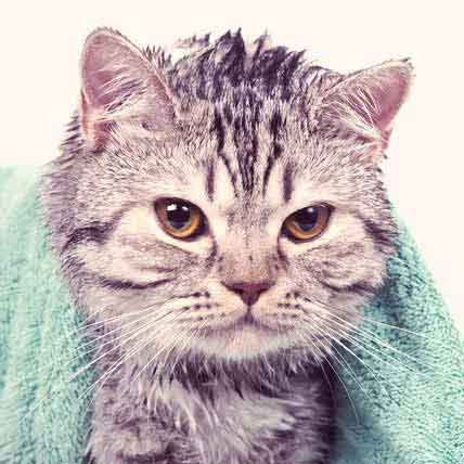 Read Article How to Wash a Cat