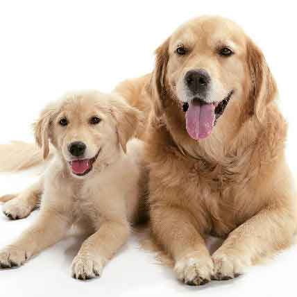 Infertility In Dogs