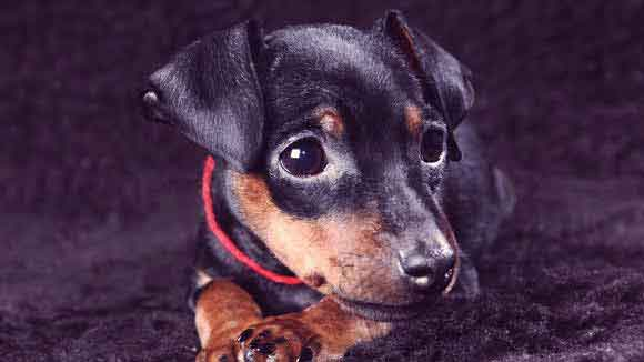 Itchy Skin on a Miniature Pinscher