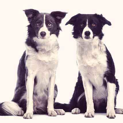 Ivermectin Intolerance in Collies and Other Dogs