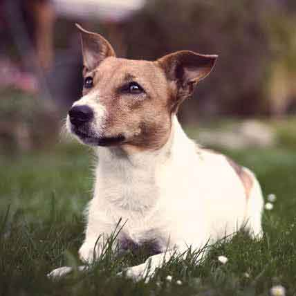 Jack Russell Terrier Information: Health