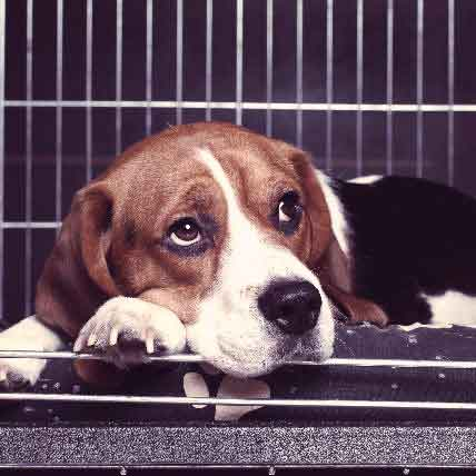 Read Article Kennel Cough Symptoms and Treatment