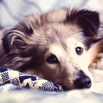 Low Red Blood Cell Count in Dogs: Causes of Anemia