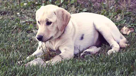 How to Make Homemade Dog Food for Labradors