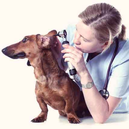 Read Article Otitis Externa in Dogs